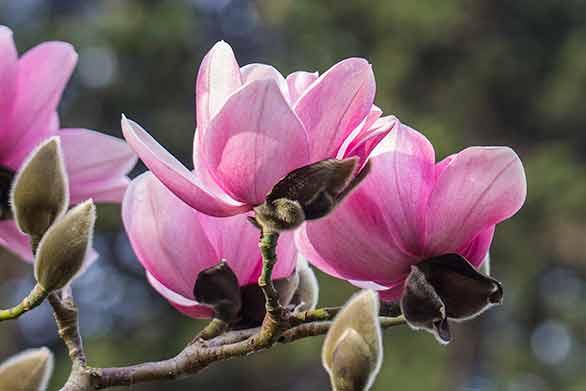 Magnolia-campbellii-Bob-Gunderson