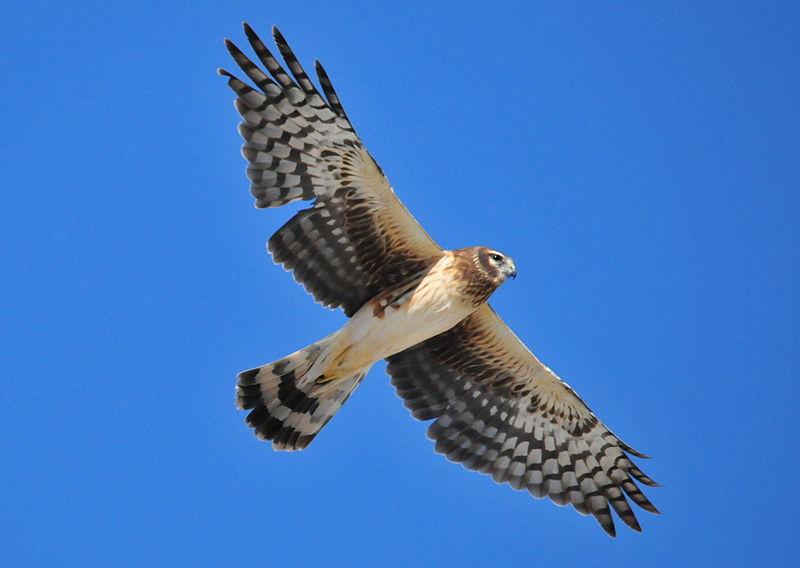 Лунь (Harrier) в полете
