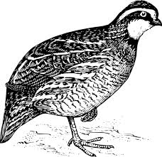 Вирджинская куропатка (Bobwhite) – птица-символ штатов Теннеси и Джорджия