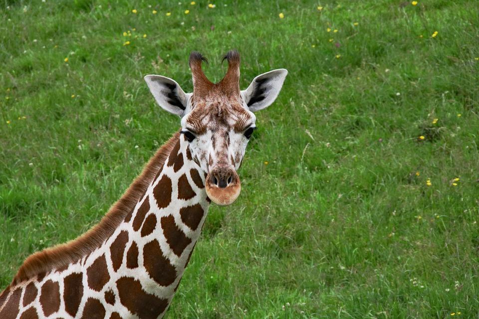 Изысканный жираф