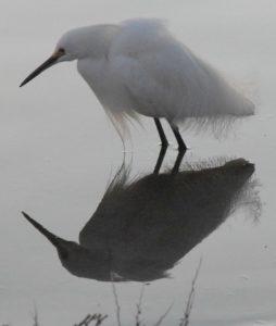 Snovy Egret