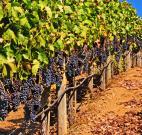 sonoma wine crush